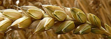 Presencia de gluten en productos procesados procedentes de Polonia